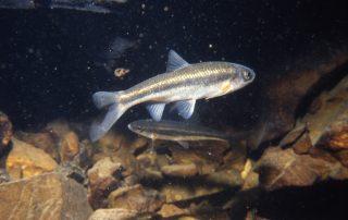 Svjetlica (Telestes polylepis), Ponor Rupećica (foto: B. Jalžić)