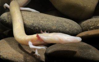 Čovječja ribica (Proteus anguinus), Jama u Lici (foto: B. Krstinić)